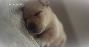 IBM et Guiding Eyes for the Blind s'associent pour les chiens d'aveugles