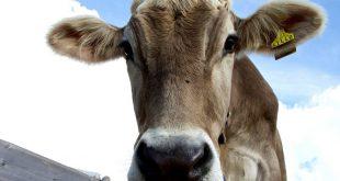 vache applifarm