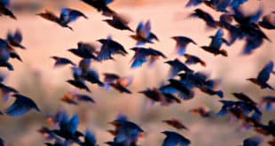 swarm intelligence distribuée définition