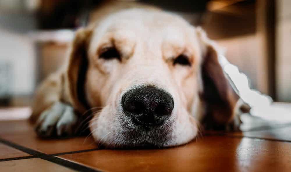 Megvii : l'IA qui retrouve les chiens perdus via leurs empreintes de truffe