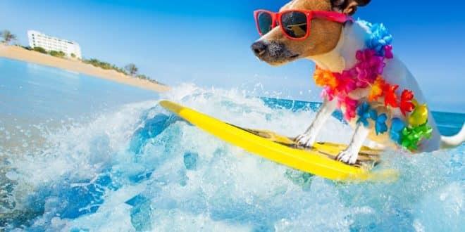 dog sur une planche de surf