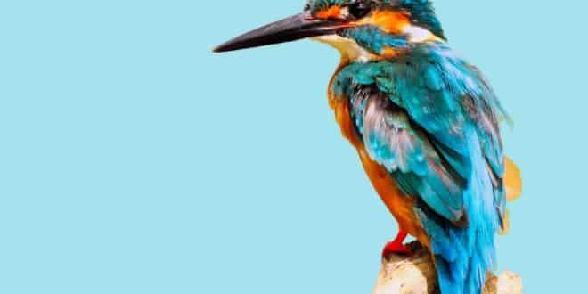 ia reconnaissance oiseaux